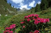 Alpine rose weeks