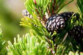 Massaggio Alpicare con pino mugo & pino silvestre | Massaggio completo