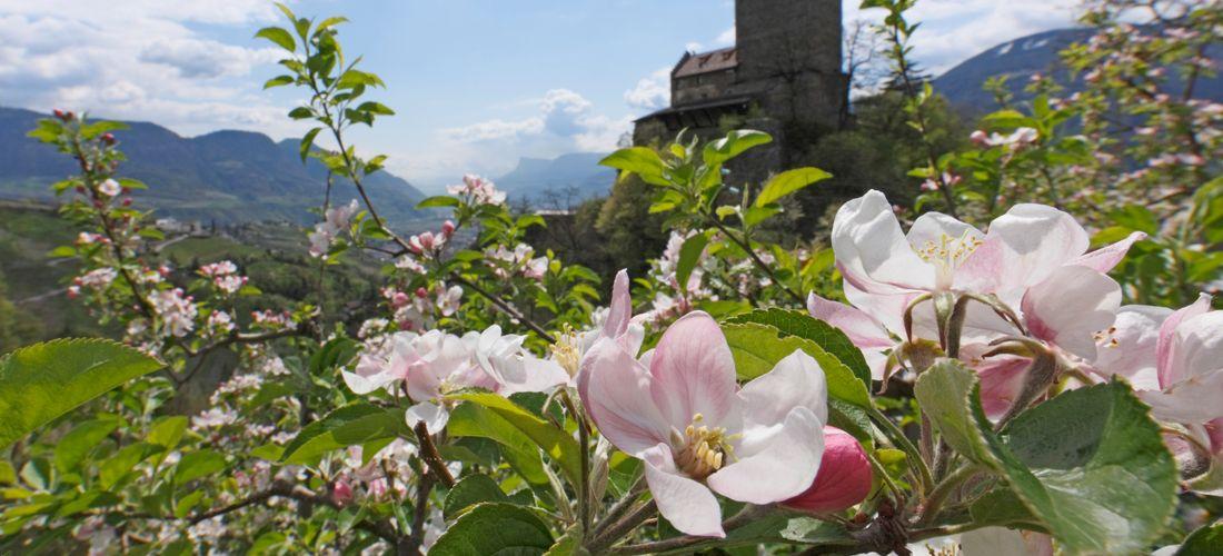 Apfelblütenduft: Urlaub zur schönen Apfelblüte in Südtirol