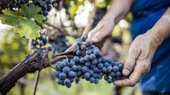 Weinwoche mit Almabtrieb